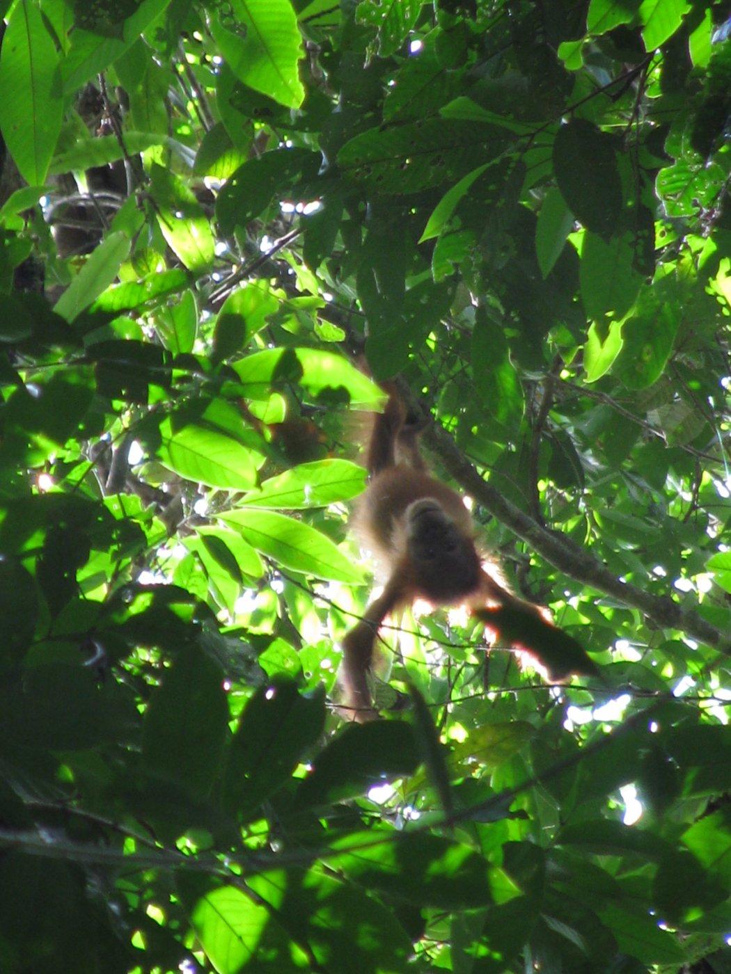 Verwonderend Tropisch Regenwoud van Sumatra   Unesco Commissie PQ-19