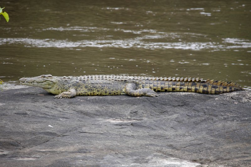 A croco on the banks of the Garamba River. (Foto: CC/Flickr.com | Terese Hart)