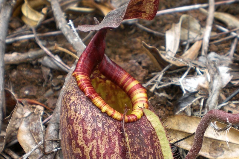 Nepenthes. (Foto: CC/Flickr.com | kleo_marlo)