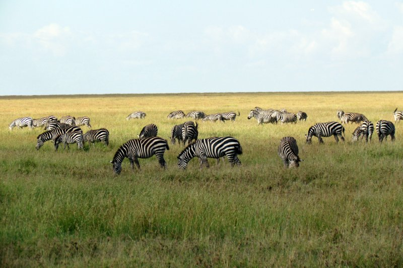 Serengeti National Park safari - Tanzania, Africa. (Foto: CC/Flickr.com | David Berkowitz)