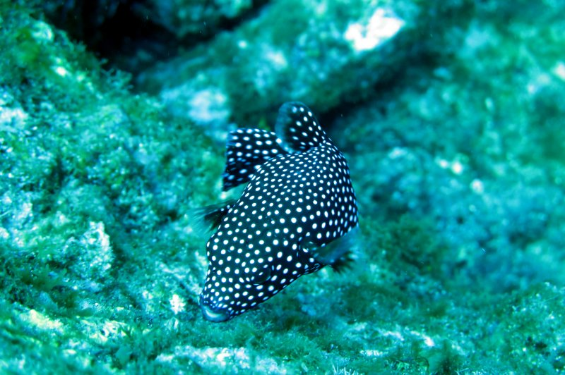 spotted puffer. (Foto: CC/Flickr.com | waskyo)